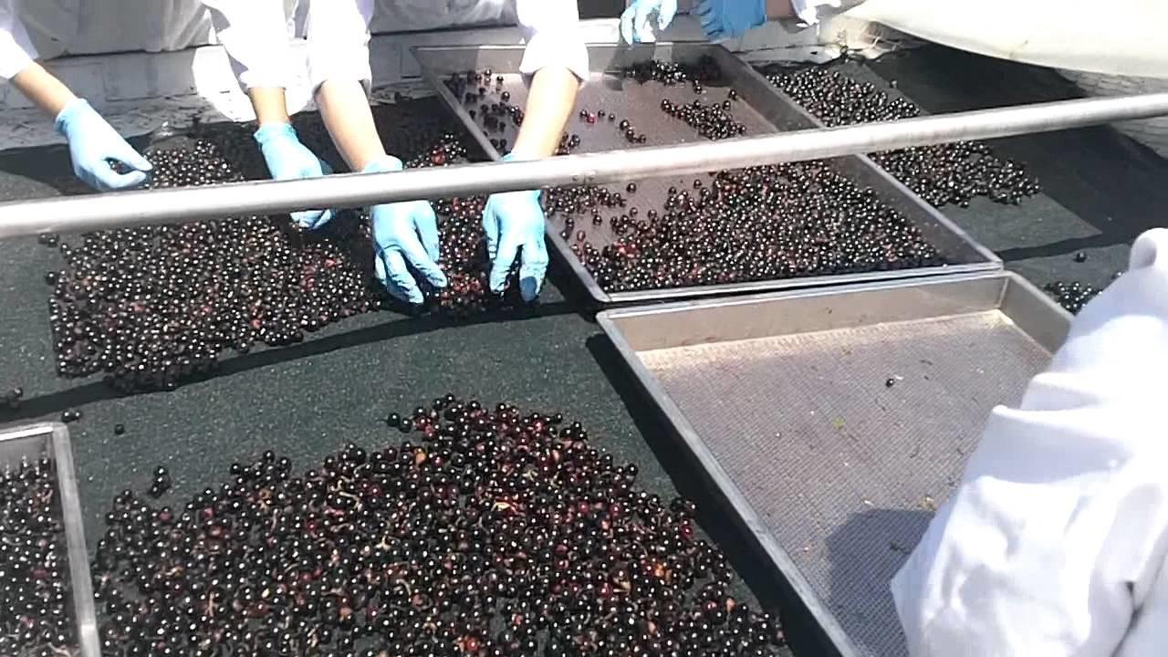 Organic Dried Black Currants Silk Road Organic Foods Uzbekistan Part 1