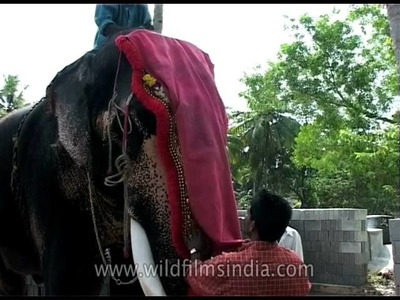 DIY for dressing up an elephant, Kochi
