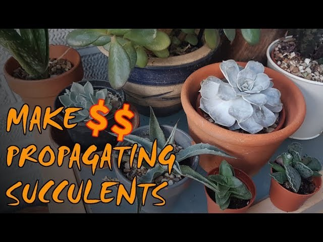 Make Money On Your Homestead   Propagating Succulents