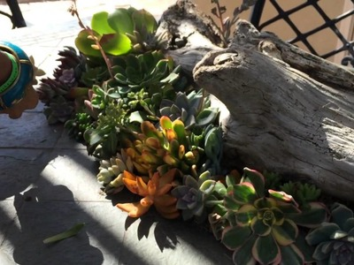 Succulent tip of the day drift wood