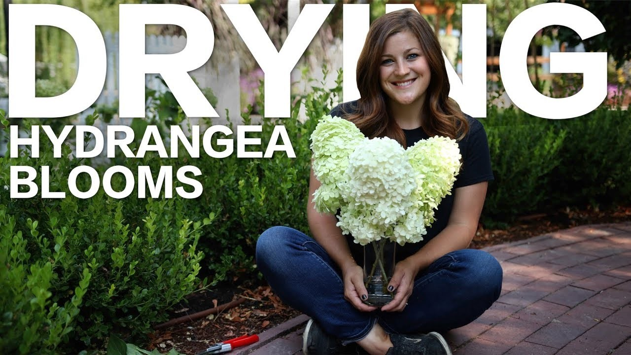 How to Dry Hydrangea Blooms ????. Garden Answer