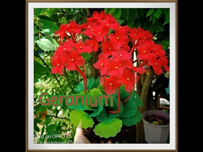 เจอราเนียม.Geranium How to make nylon.stocking flower by ployandpoom