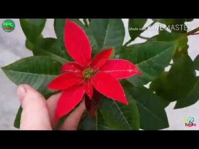 How to care and guide of poinsettia plant| gardening and caring tips of Christmas plant in hindi