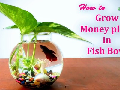 How to Grow Money Plant in FISH BOWL | Money Plants Growing Ideas | Pothos Decoration.GREEN PLANTS