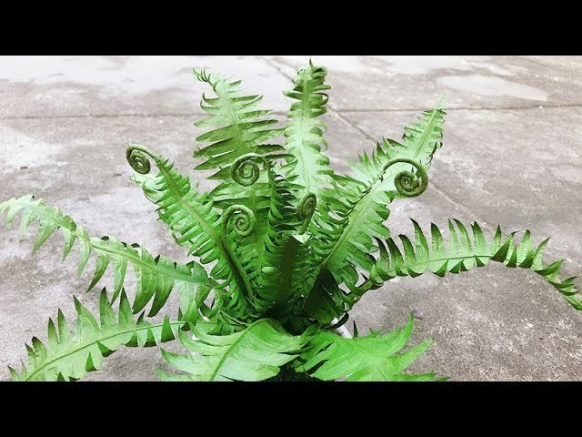 ABC TV | How To Make Paper Tree Fern - Craft Tutorial