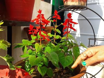 How to Grow and Care Salvia Plant || Care of Salvia Plant