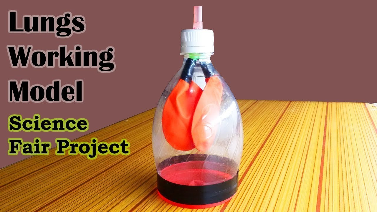 How to Make Lungs Model, Science Models and Science Fair ...