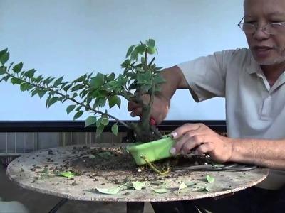 Bonsai Tutorials for Beginners: How to Restore an Overgrown Shohin Bougie