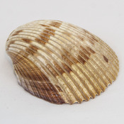 Sea Shell Hair Tie