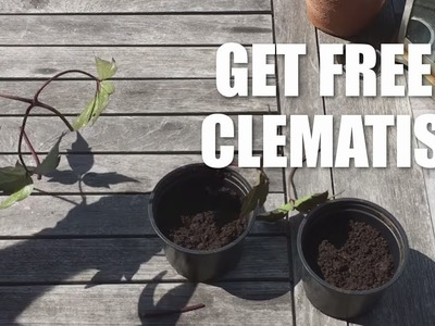 How to take cuttings from a clematis