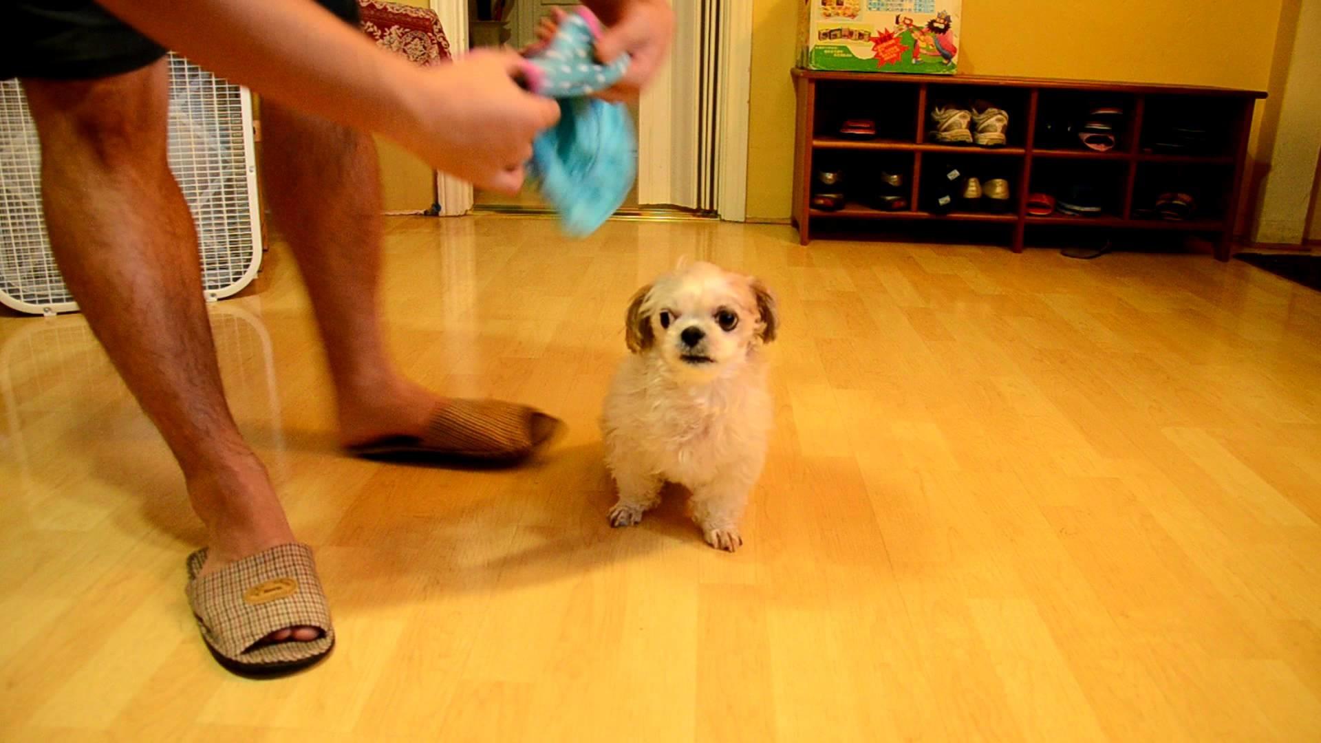 How to dress your Shih Tzu dog