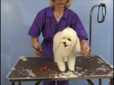 Poodle Teddy Bear Clip . Pet Grooming Studio Academy