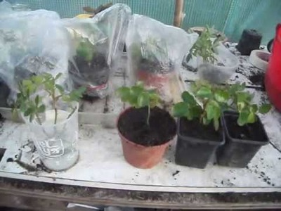 How to Propagate Roses from Cuttings - 3 Simple Methods to Propagate them from Cuttings