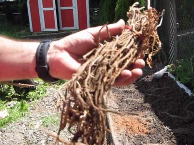 How To: Planting Asparagus in a raised bed