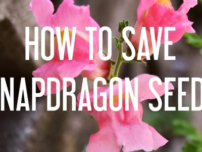 How to Save Snapdragon Seeds