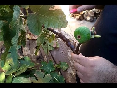 HOW TO GROW A FIG TREE FROM A CUTTING: PART 1