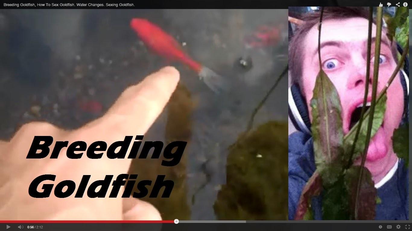 Breeding Goldfish, How To Sex Goldfish. Water Changes. Sexing Goldfish.