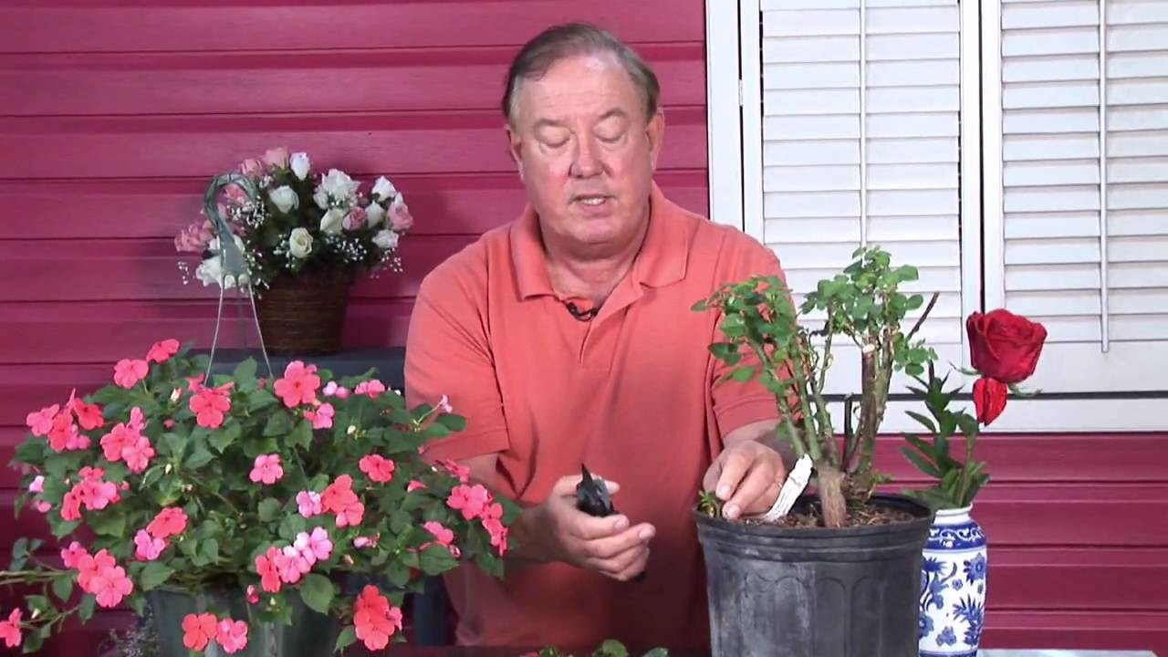 Growing Roses : How to Take Rose Cuttings