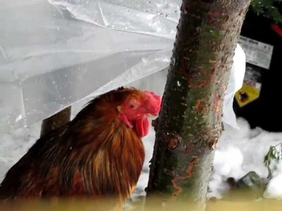 Pet Chickens - Smart old rooster - Combie in the rain