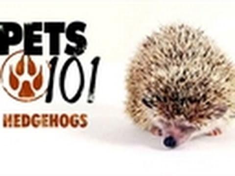 Pets 101- Hedgehogs