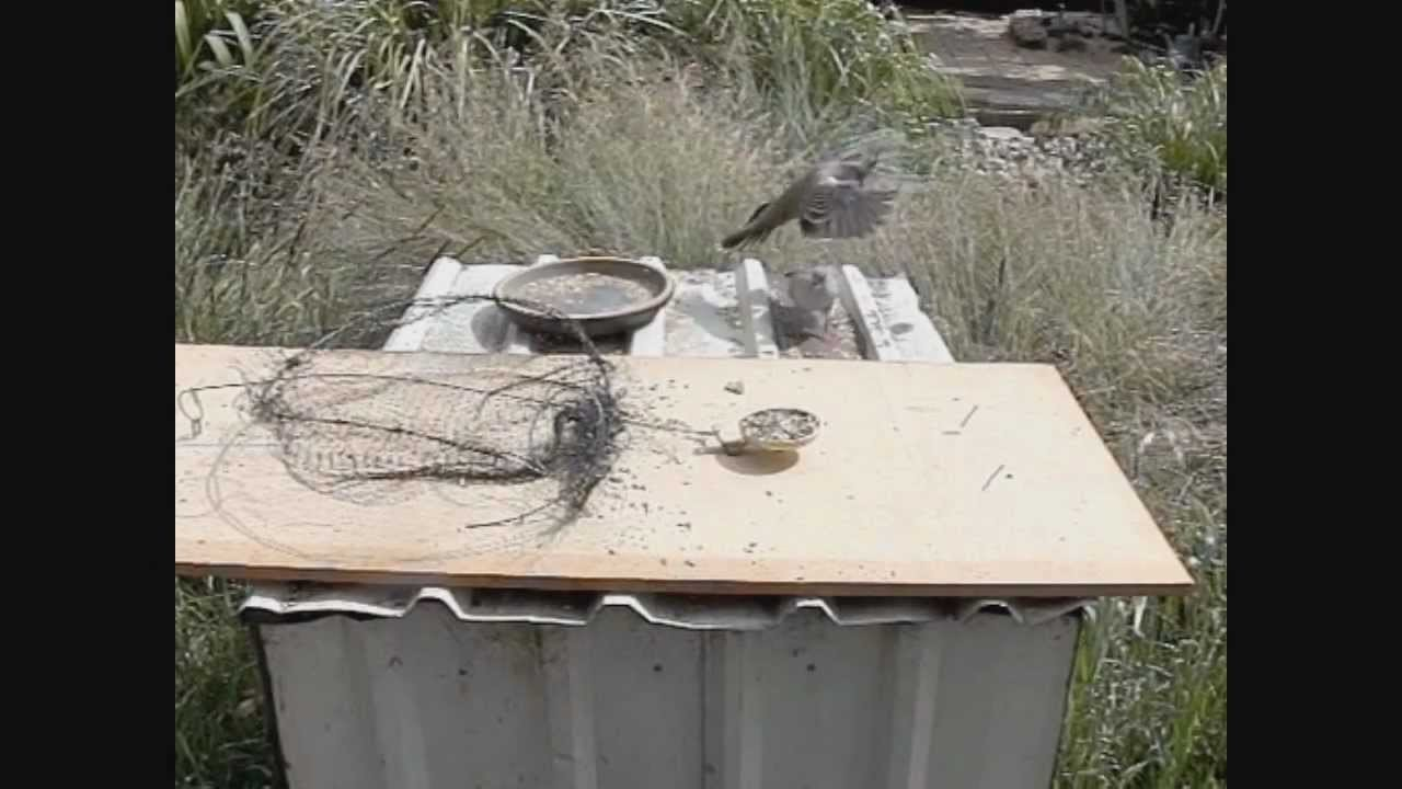 How to Make a Bird Trap - that actually works!!