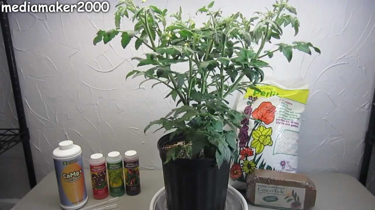 Easy Hydroponic Tomato - No Pumps! Experiment DIY