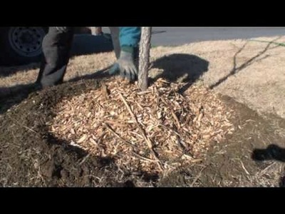 How to properly mulch around a tree