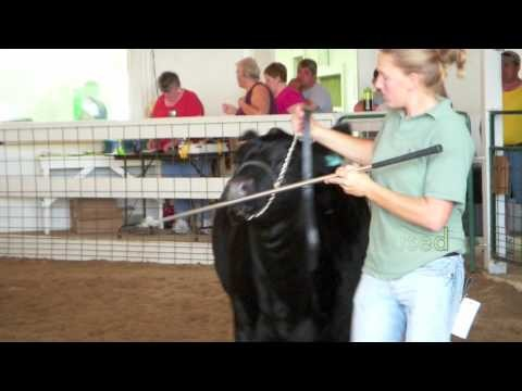 How to Show Beef Cattle