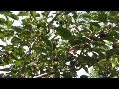 How To Grow a Mulberry Tree From a Cutting