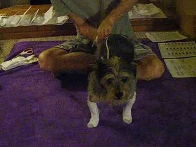 How to put home-made elastic sock suspenders on your dog.