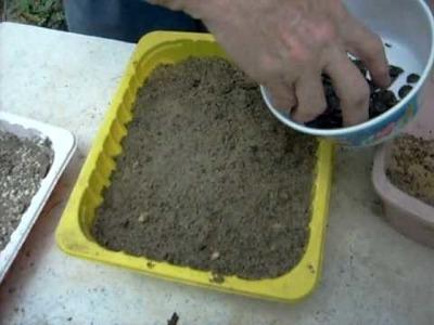 How to grow amaryllis seed