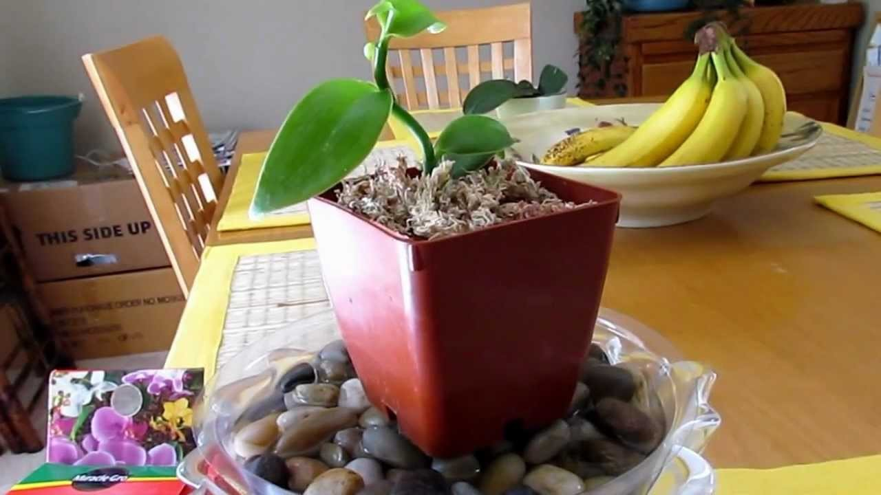 How To Grow Vanilla Orchid Planifolia Update Part 2