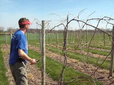 How to prune grapes Maizevalley.com