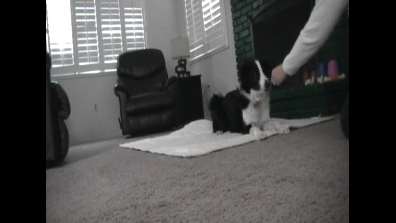 Roll up in a blanket - cute dog trick - clicker dog training
