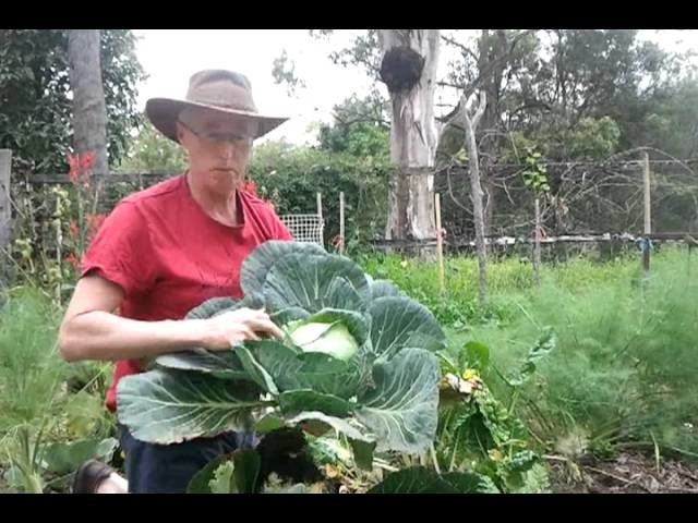 How to grow great cabbages