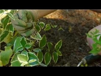 Growing & Caring for Foliage Plants : How to Transplant Vinca Major