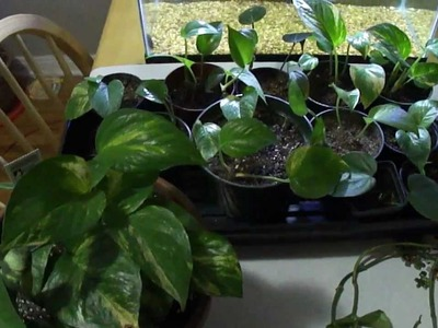 How to get a bushier, full pothos. philodendron plant
