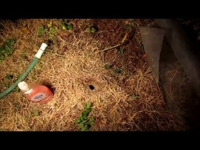 How to Kill Wasp, Yellow Jacket Ground Nest Video - naturally using soap and water