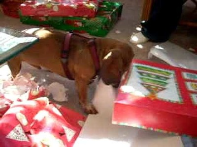 Mojo the Dachshund Shreds Christmas Wrapping Paper