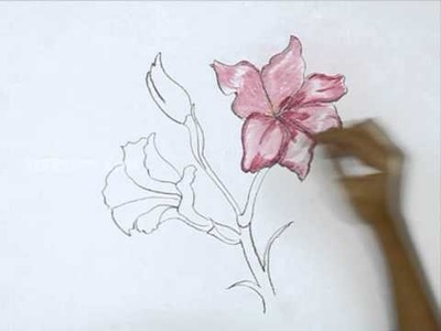 How to Draw a Gladiolus - Light Pink