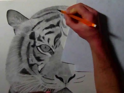 Siberian Tiger pencil drawing by AllanDavisArt