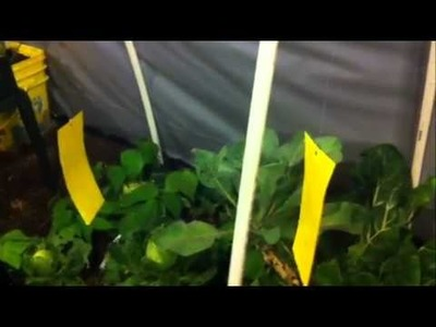 How to make whitefly fly paper!