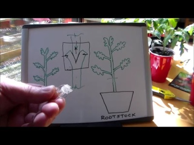 How to Graft Tomato Plants - Part IV - Grafting Day