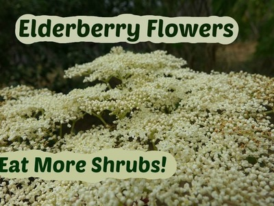 Elderberry Flowers: How to pick and use elder flowers