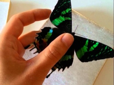 How to handle a dried butterfly specimen