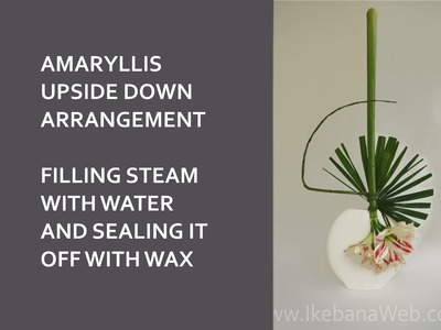 Amaryllis tutorial: filling up stems with water and sealing them off for upside down arrangements