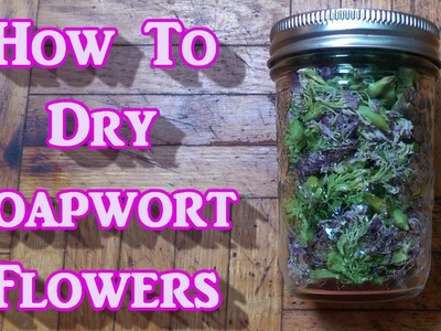 How to Dry Soapwort Flowers. With Gracies Help!