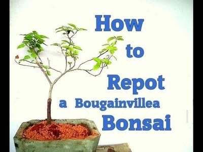 How to repot a Bougainvillea Bonsai Tree