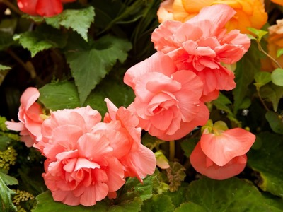 How to Care for a Begonia - indoor