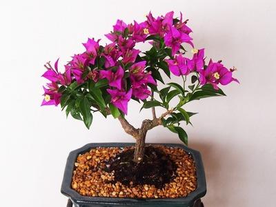 How to Care Bougainvillea Bonsai Tree